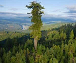 Da li znate koliko je visoko najviše drvo naše planete?