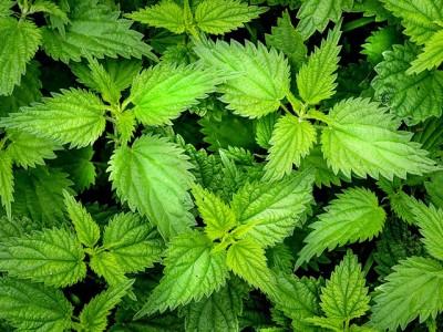 """Da li znate koja država je prva legalizovala """"travu""""?"""