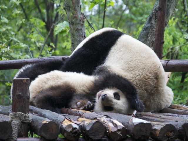 Rezervat Volung, oaza spasa za džinovske pande