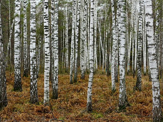 Tajge, moćne šume koje su dom sibirskom tigru i neobičnom narodu Neneti