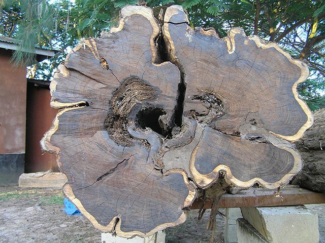 """Da li ste čuli za """"mpingo"""", najskuplje drvo na svetu?"""