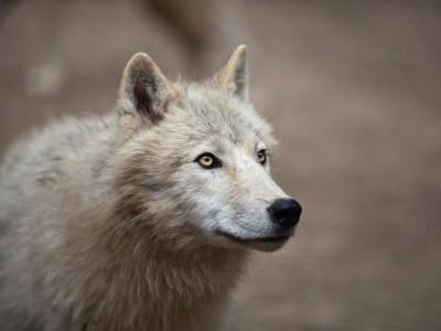Da li znate kako vukovi oblikuju ekosistem u kome žive?