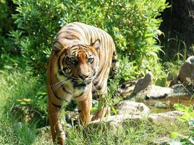 Šta mislite, kolika je populacija tigrova u Africi?