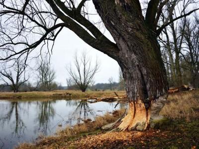 Šta mislite, koliko stabala može da sruši jedan dabar za godinu dana?