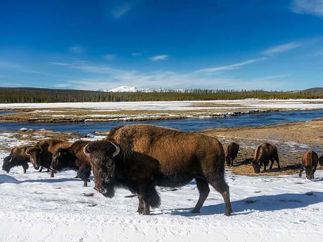Američki bizoni i demokratija...